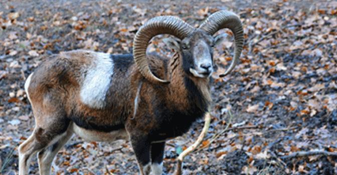 Muffelwild – Steckbrief
