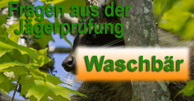 Jagdscheinprüfung – Fragen zum Waschbär