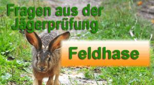 Jagdprüfung---Feldhase