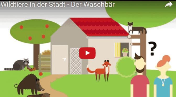 Wildtiere in der Stadt – Der Waschbär