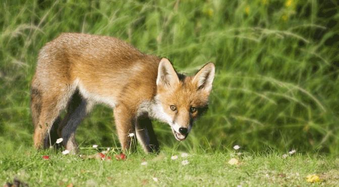 Weidmännische Ausdrücke beim Fuchs